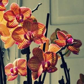 Orkideen i mit vindue